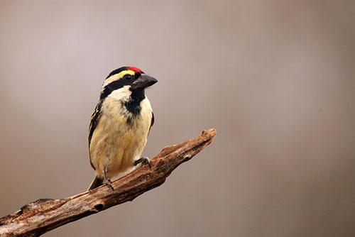 Acacia-Pied-Barbet