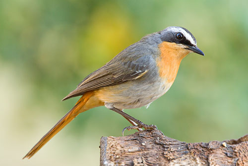 Cape-Robin-Chat