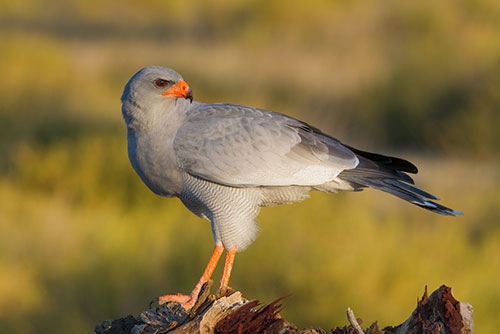 Chanting Goshawk (pair)
